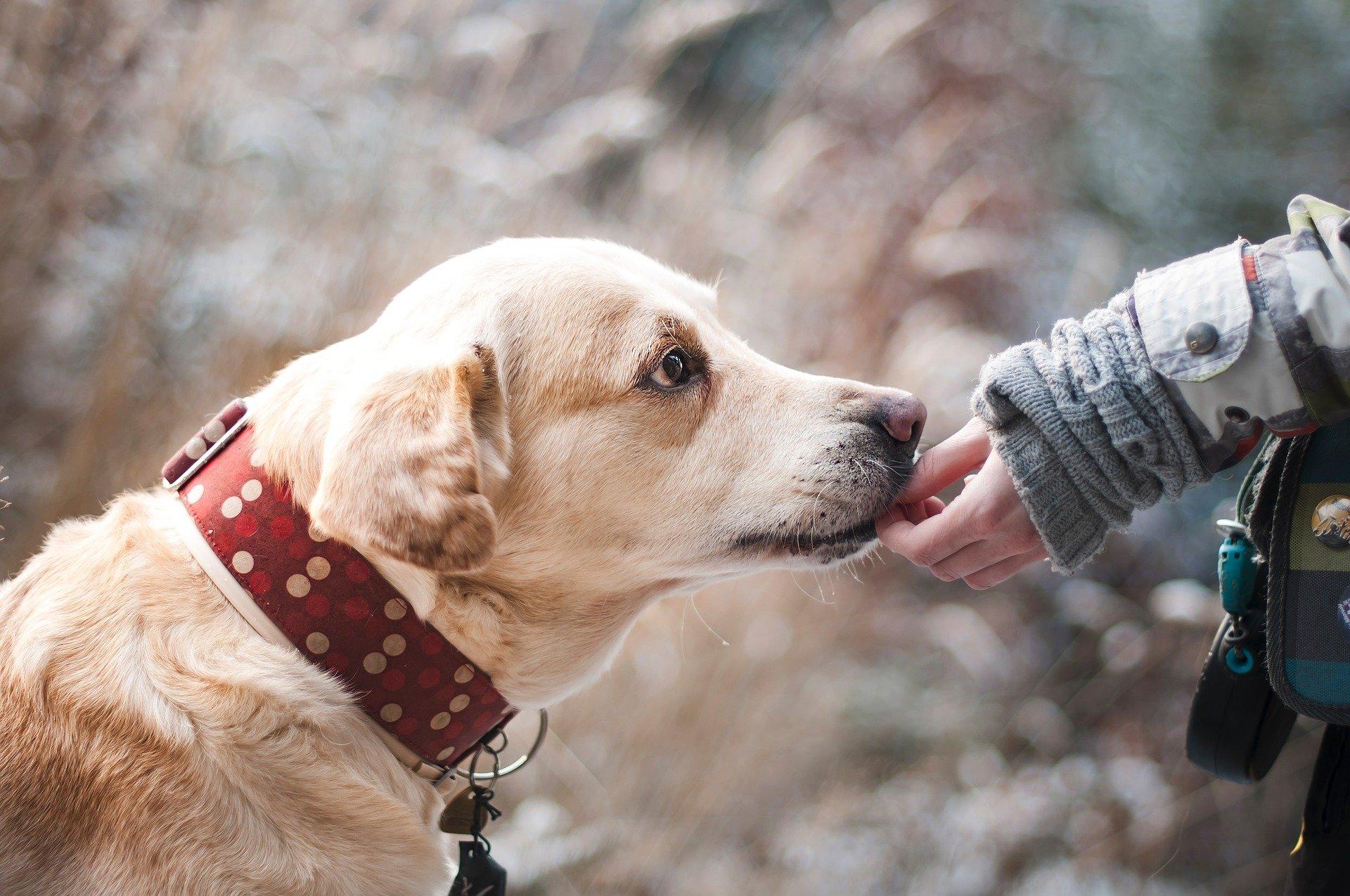 Image of a Labrador Retriever Dog.
